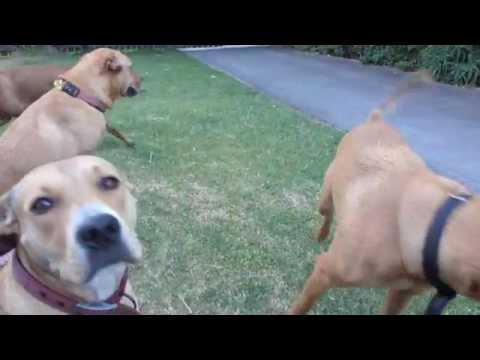 Dogs socializing, learning to read dogs body langauge