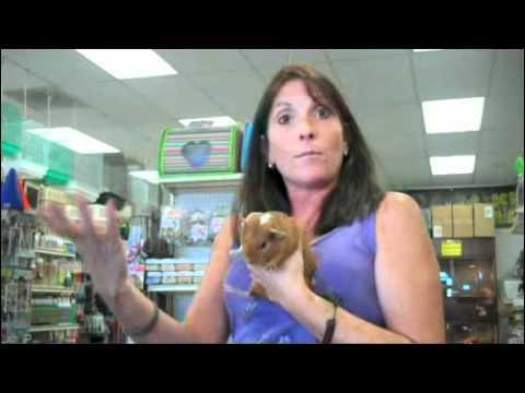 Pet Guinea Pig Care Information – SmallAnimalChannel.com