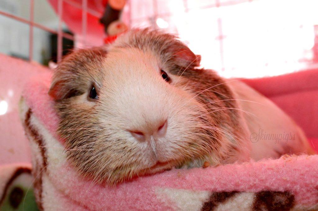 Guinea Pig Starter Supplies