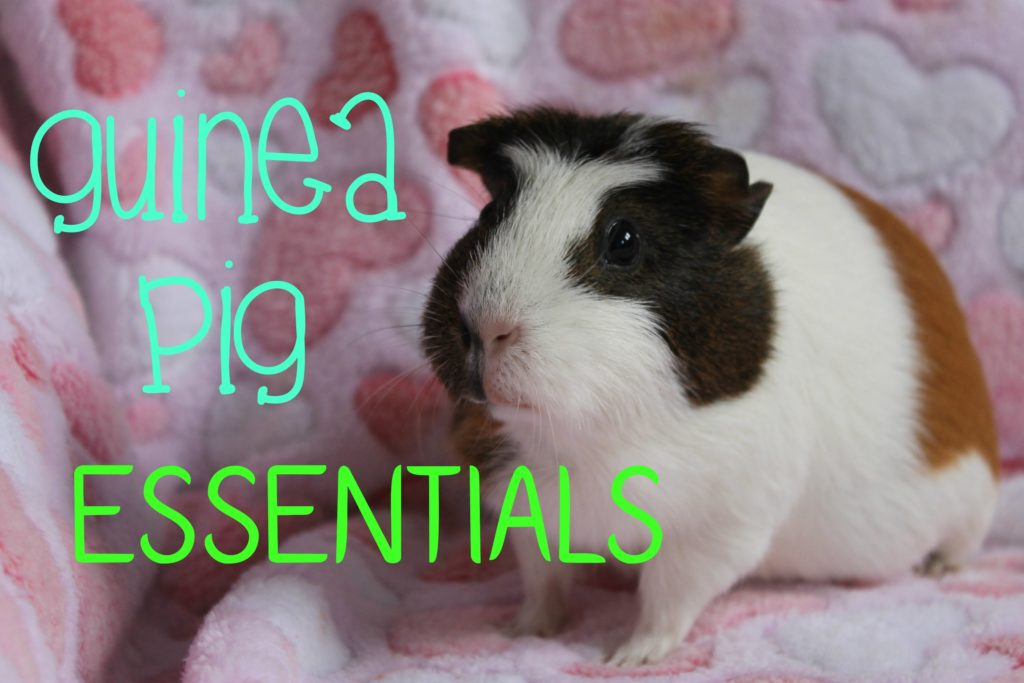 What You Need For Guinea Pigs | ESSENTIALS