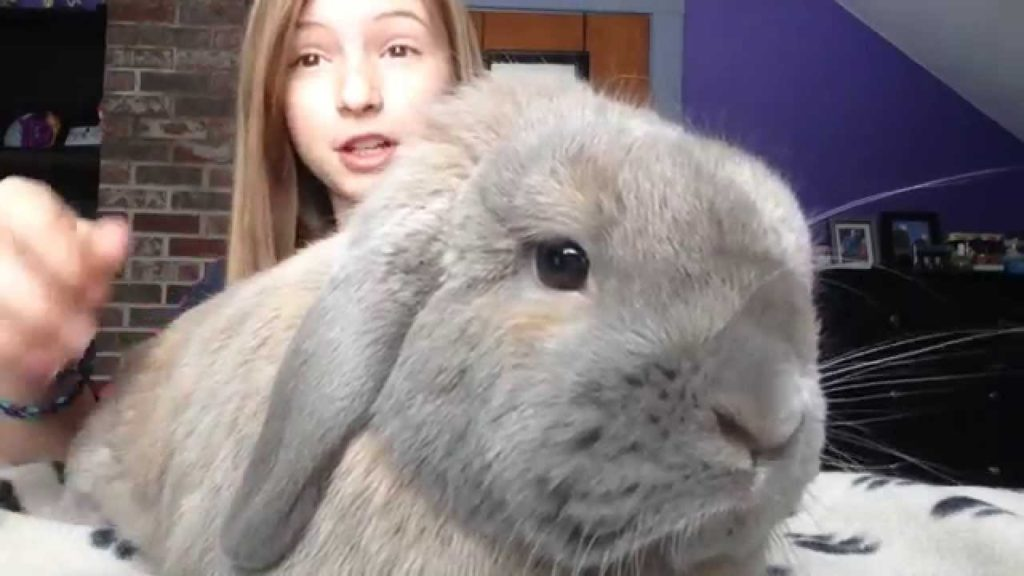 Rabbit Care – How to Pick up Your Bunny | Holland Lop | House Rabbit | Bunny Hercules |Video
