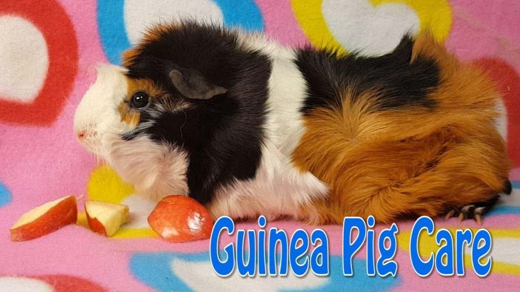 Guinea Pig Care – Requested