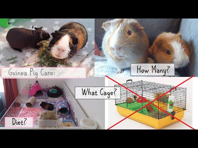 Basics of Guinea Pig Care | HansPiggies