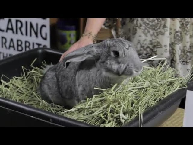 Giant Rabbit Care : Rabbit Care