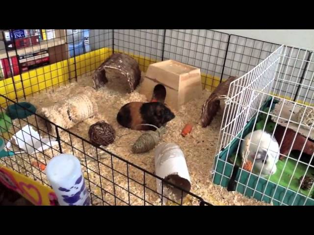 Is A Guinea Pig The Right Pet For Me? | The Basics Of Piggie Care