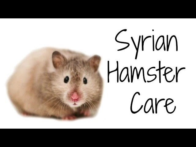 SYRIAN HAMSTER CARE