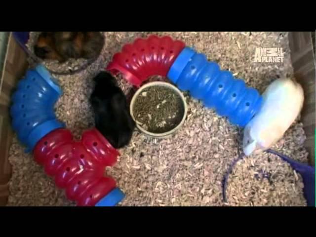 Pets 101- Guinea Pigs