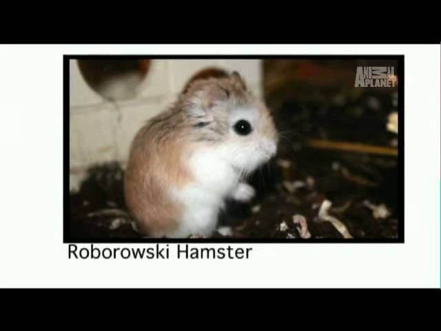 Pets 101- Hamsters