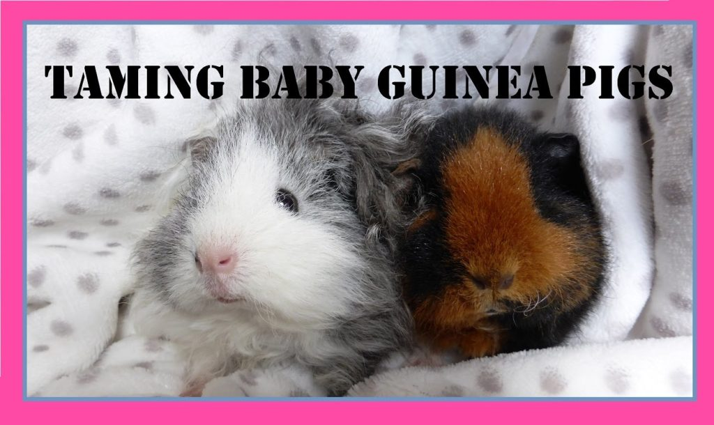 8 Top Tips For Taming Baby Guinea Pigs!!