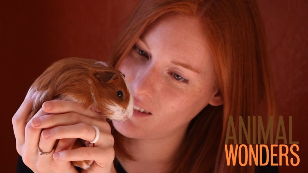 Guinea Pigs! What, Where, and How