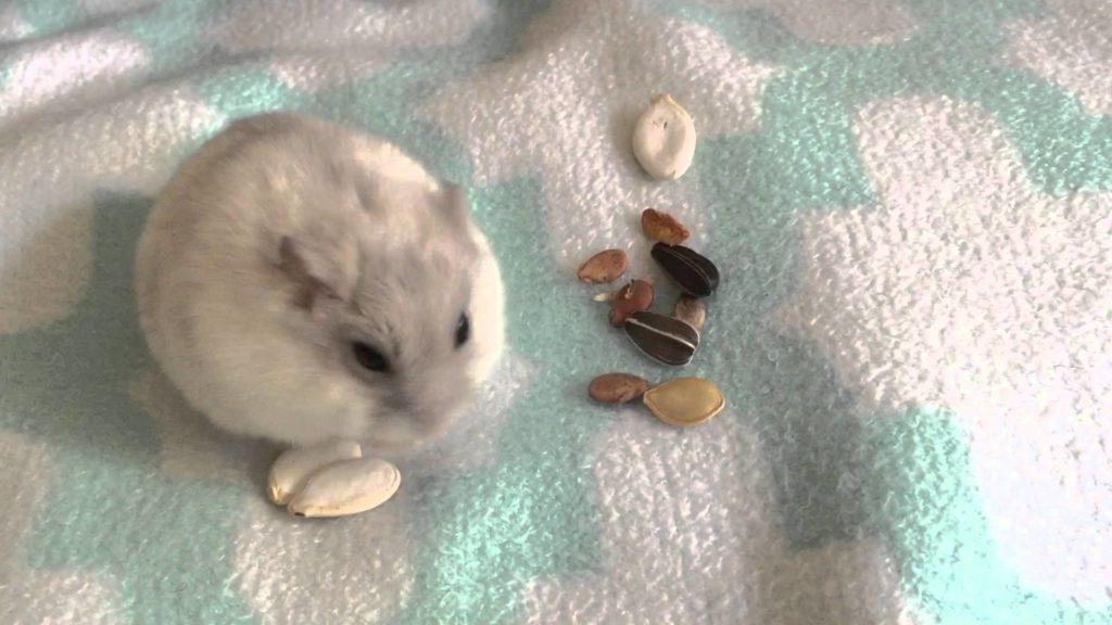 Winter White Hamster Care