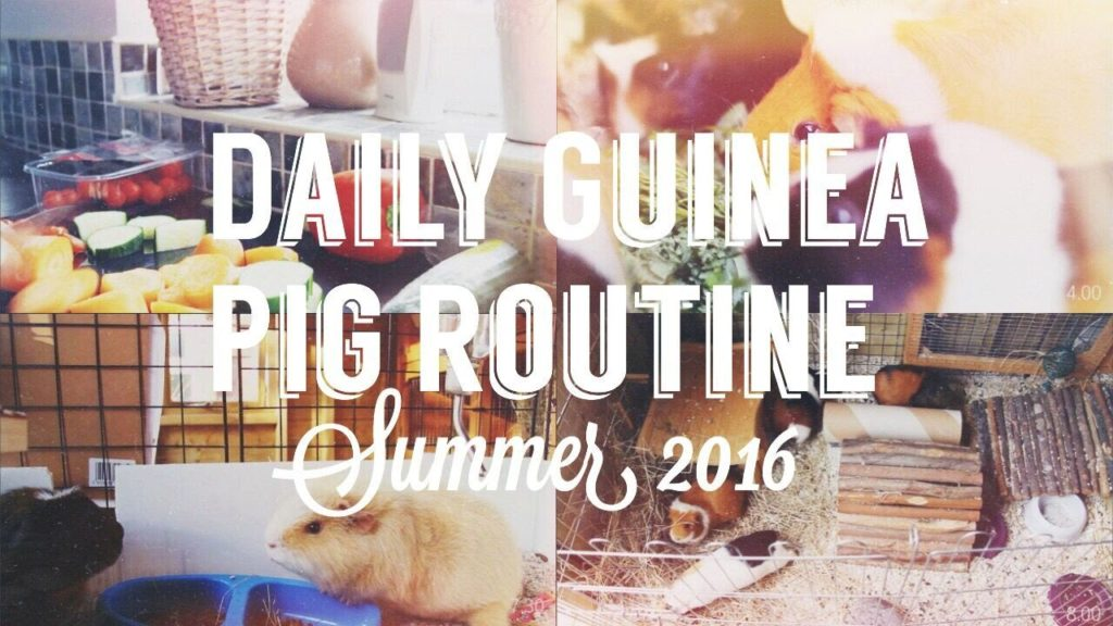 DAILY GUINEA PIG ROUTINE | SUMMER 2016 // Piggie Palace