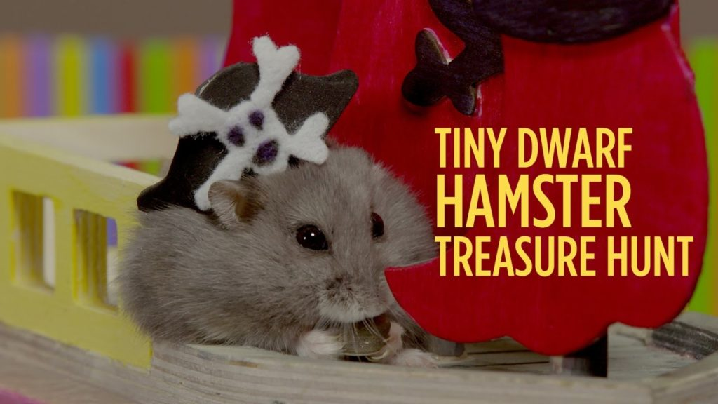 Tiny Dwarf Hamster Treasure Hunt – Starring Dumptruck & Porkchop