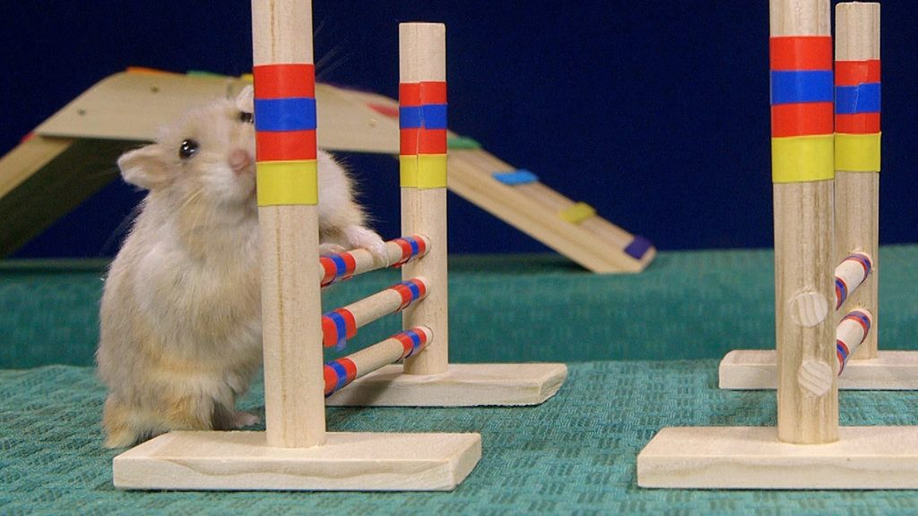 Tiny Dwarf Hamster Agility Course – Dumptruck Vs Porkchop