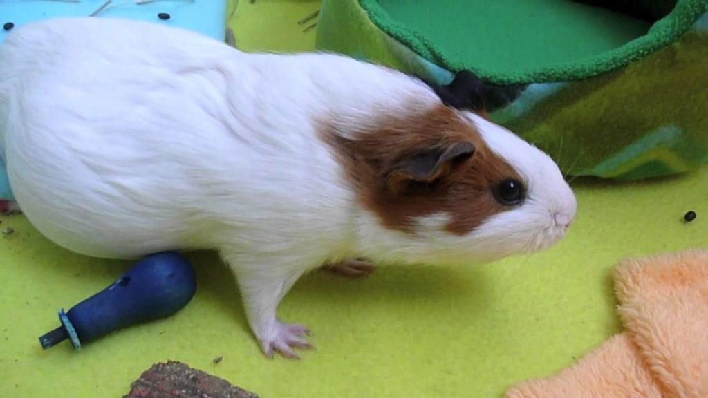 Pregnant guinea pig care part:3 Diet