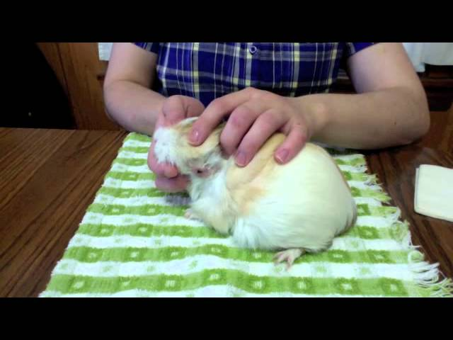 Serious Wound Care on a Guinea Pig