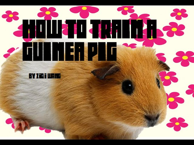 How to Train Your Guinea Pig – Pet Care [1]