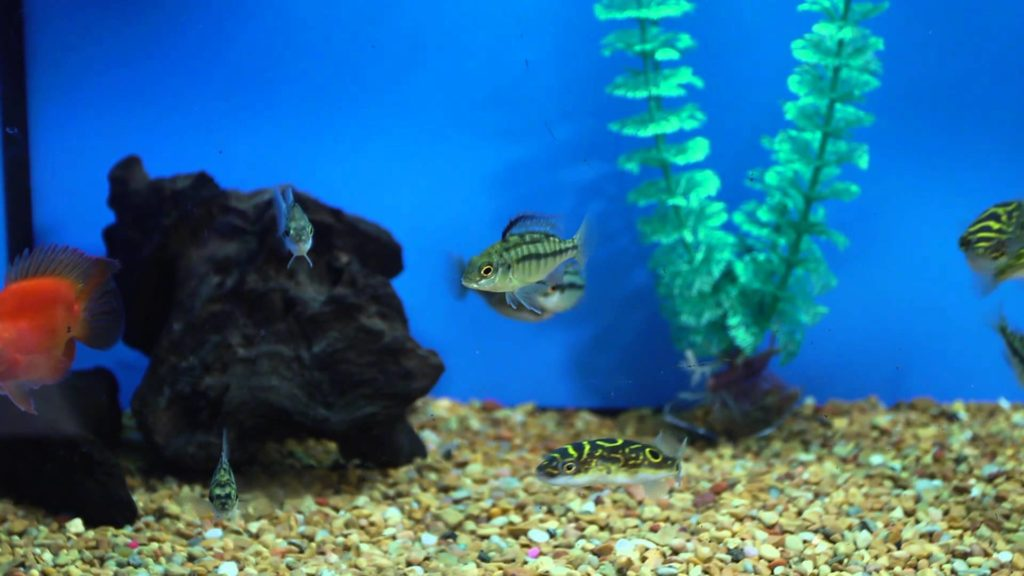 What to Feed Freshwater Puffer Fish : Aquariums & Fish Care