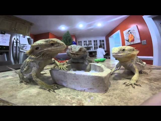 Daily Bearded Dragon Care/Routine