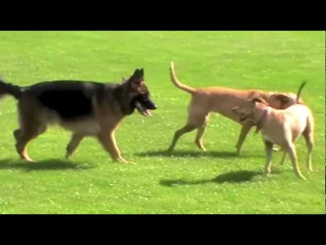 German Shepherd learns from two older dogs