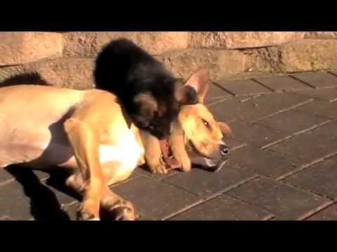 German shepherd puppy socialising with 2 older dogs