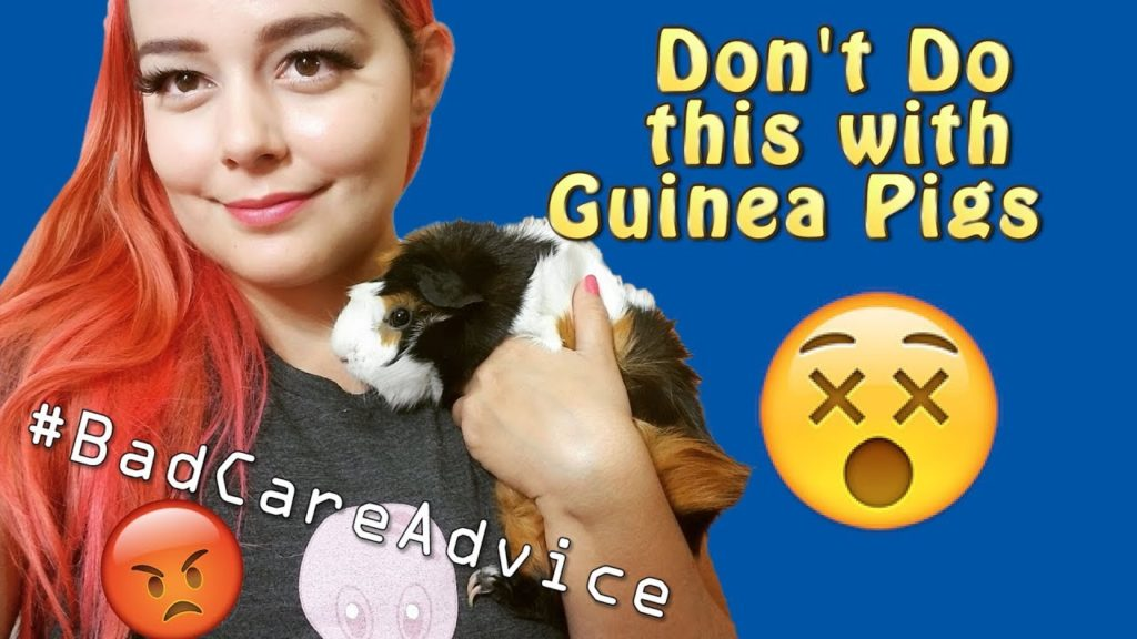 Dangers to Guinea Pigs   The DONT's of Guinea Pig Care