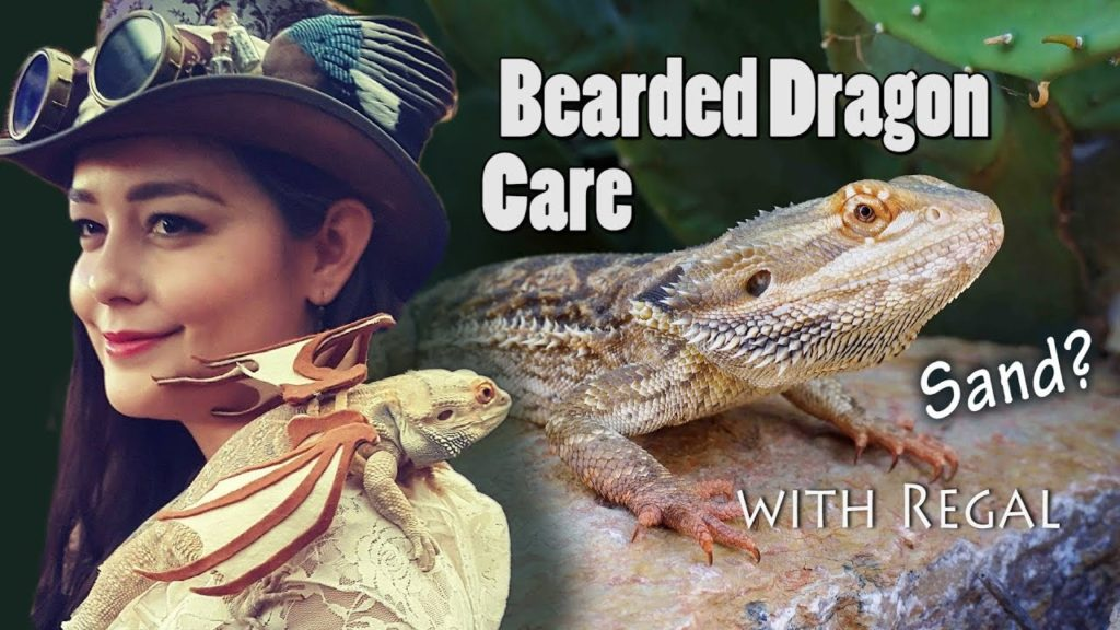 Bearded Dragon Care | Habitat, Feeding, Lighting, for Babies to Adults