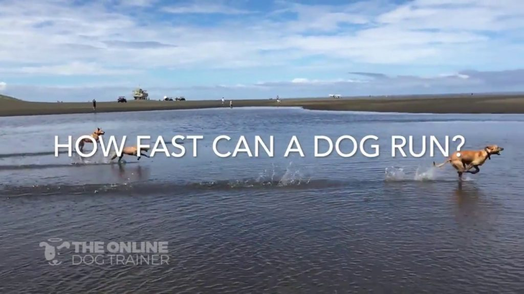How fast can dogs run