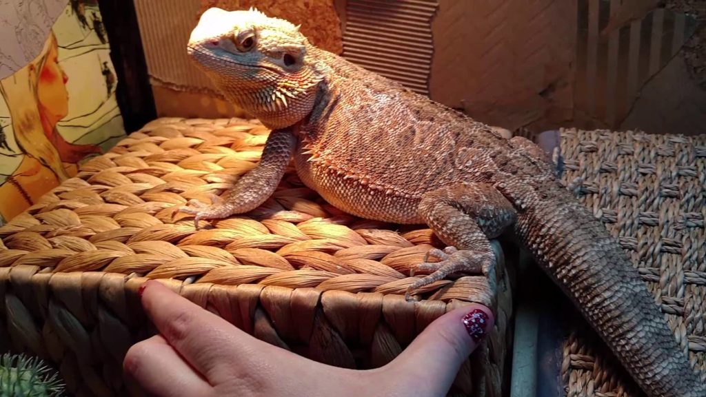 Bearded Dragon 101: the Basics