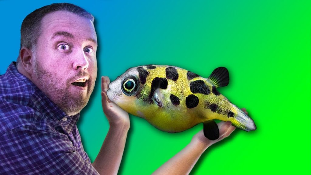 How to care for FRESHWATER PUFFER FISH – Dwarf Puffer, Pea Puffer, Puffer Fish, Mbu Puffer