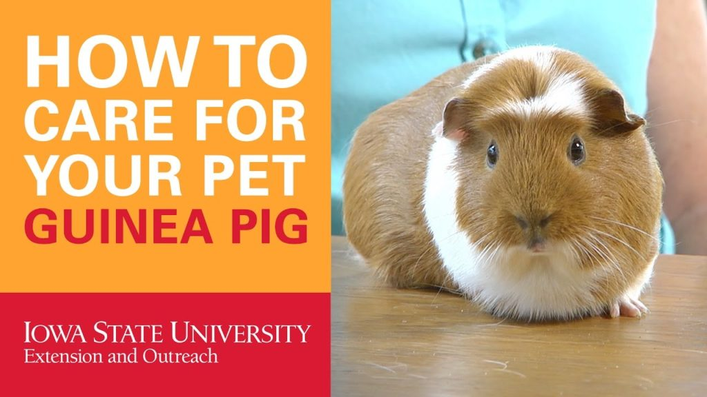 How to Care for Your Pet Guinea Pig