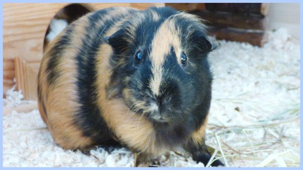 Guinea Pig Basics | Guinea Pig 101