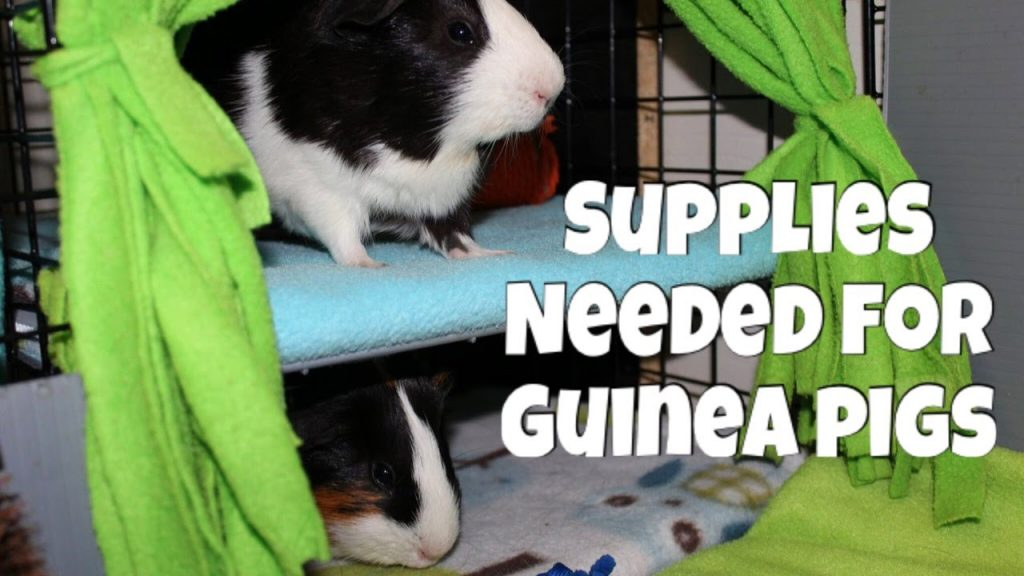 Supplies You Need to Own Guinea Pigs