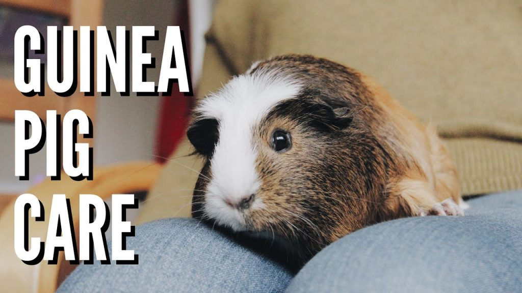 Guinea Pig Care | how to look after a pet guinea pig | Hannah Cerys