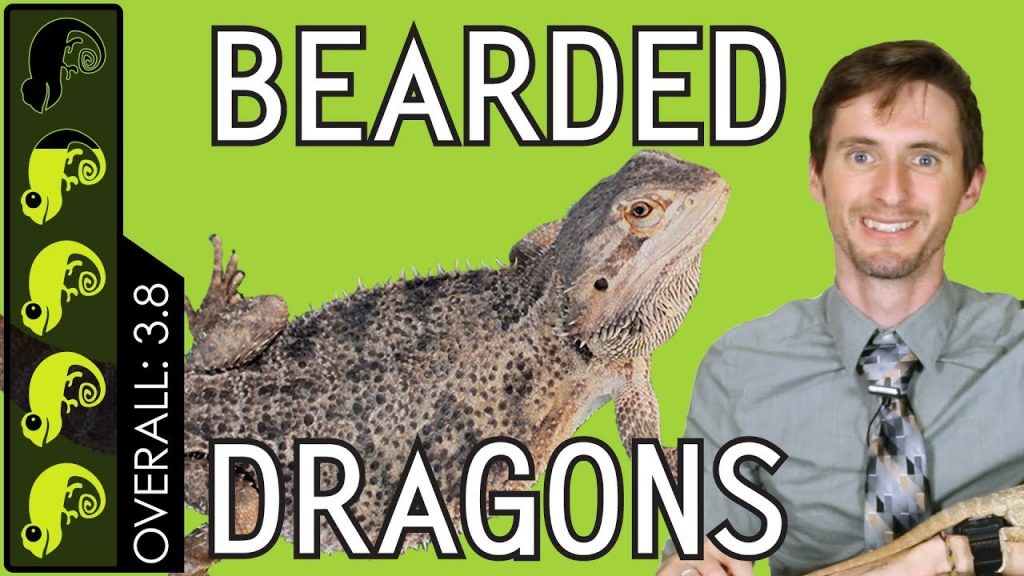 Bearded Dragon, The Best Pet Reptile?