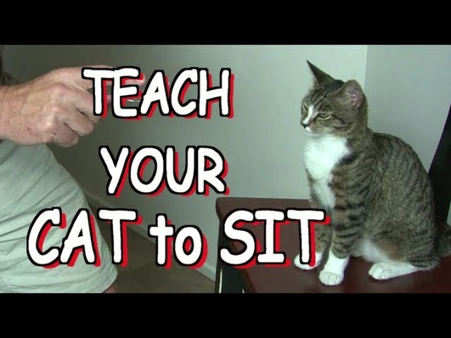 How to teach your cat to SIT