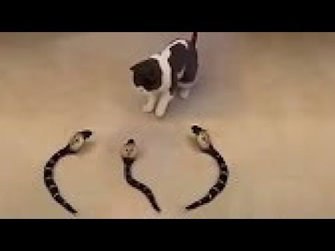 BEST OF TRAINED & DISCIPLINED CATS ★ AMAZING CAT TRICKS