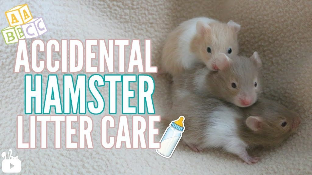ACCIDENTAL HAMSTER LITTER CARE