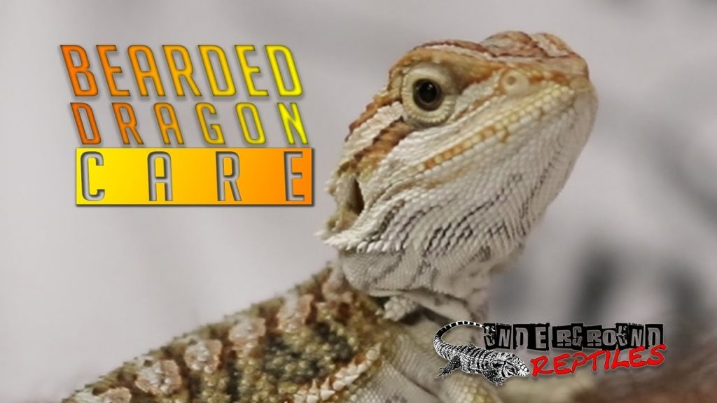 UGR — Bearded Dragon Care Video