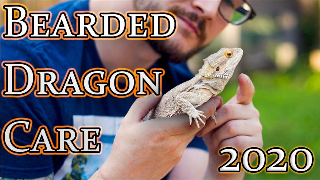 Bearded Dragon Care Guide 2020 | From Baby To Adult Beardie Care