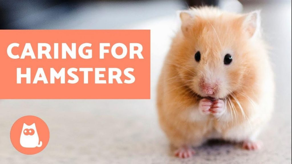 How to Look After a Hamster – Basic Care Needs